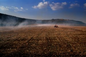 Syria, wheat field in Afrin area.2002.